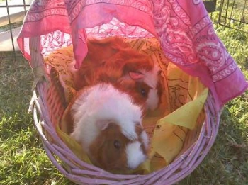bunny-zoo-guinea-pigs-basket